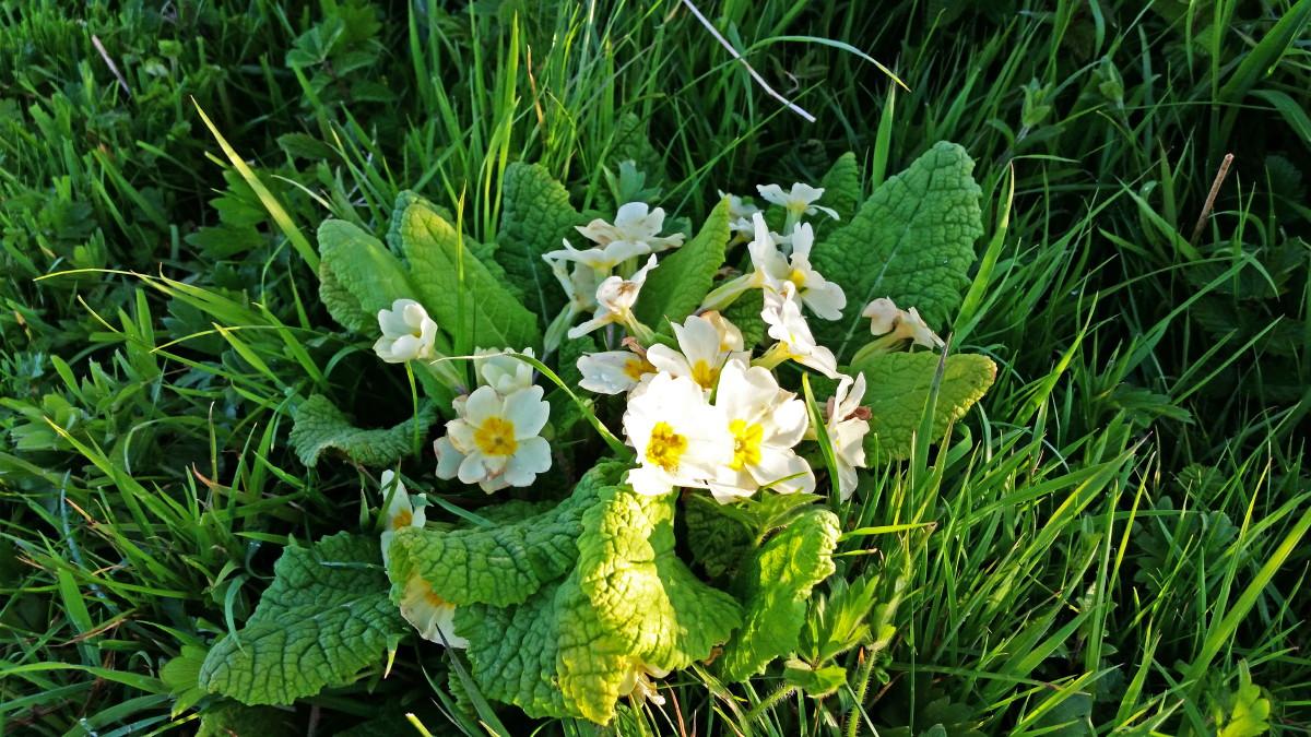 Primroses in the verge, Primula vulgaris