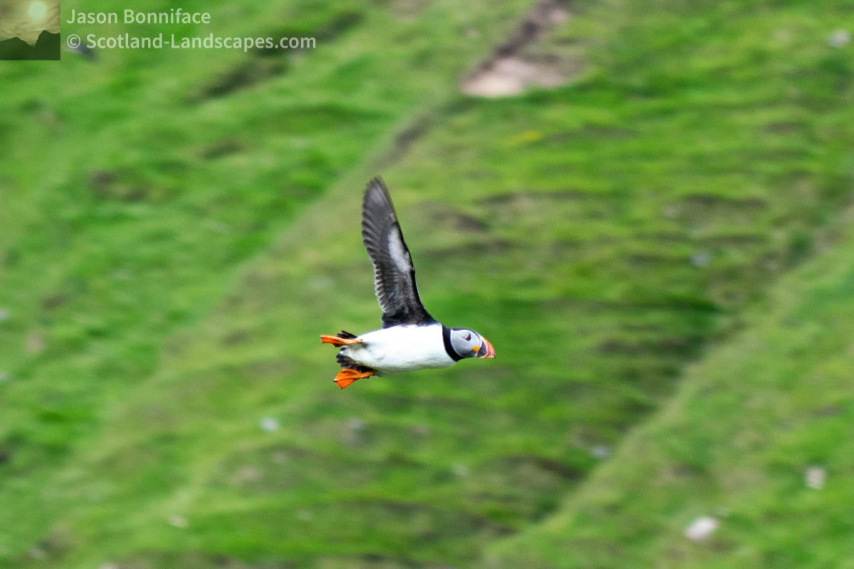 Photo of Puffin in a hurry. One of many puffins flying down the valley around Wester Clett