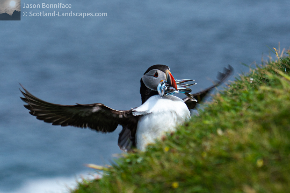 Photo of puffin with fish