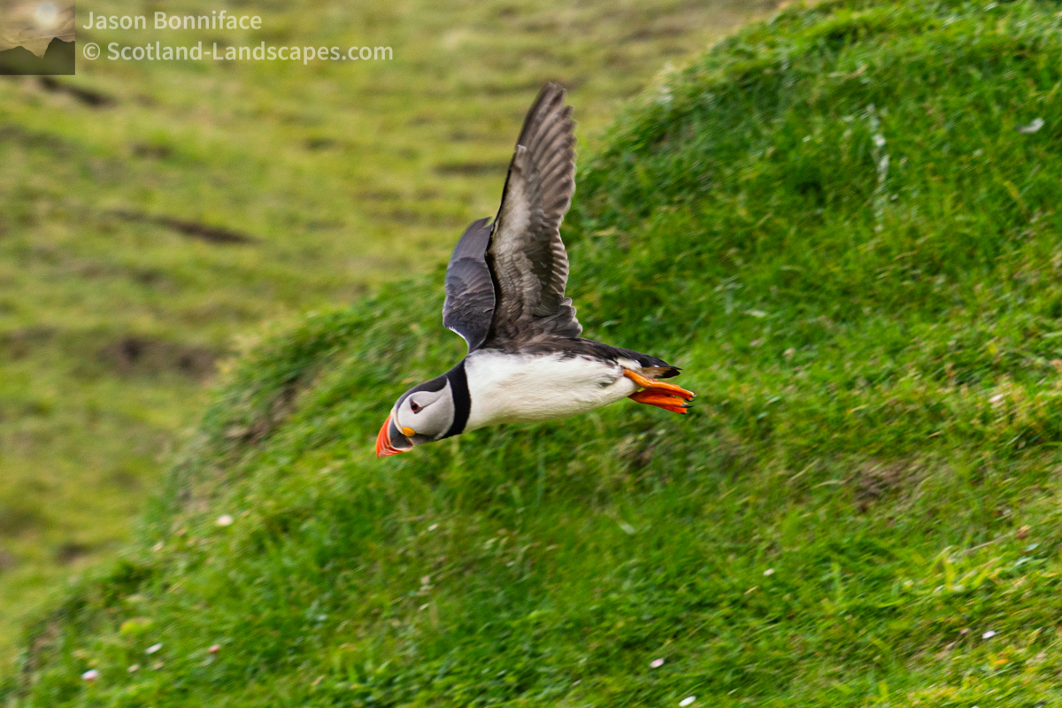 Photo of a puffin taking flight