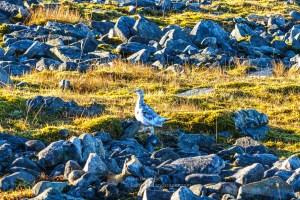 Ptarmigan on Toll Creagach, Glen Affric