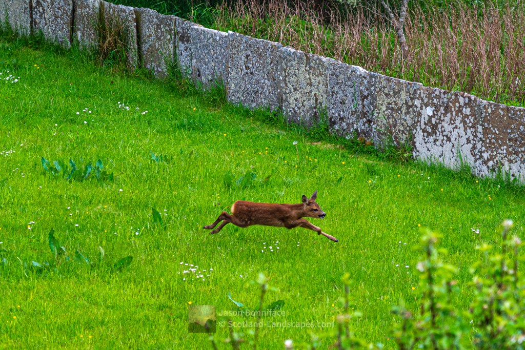 A Baby Roe Deer - Crazy Time, Caithness