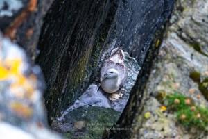 A Fulmar Chick and Parent, Fethaland, Shetland