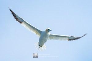 A Gannet in Search of Fish, Shetland