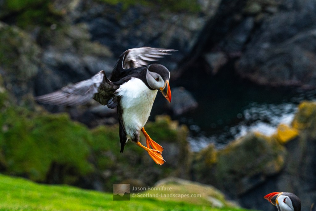 Puffin Landing at Herma Ness, Shetland