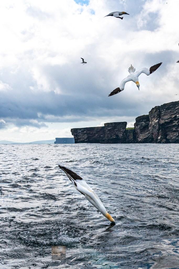 Gannets Diving off the Noup of Noss, Shetland