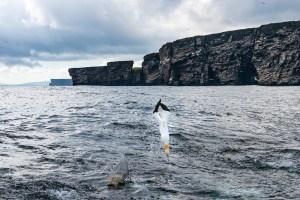 Gannet Diving - Vertebrae and Wings in Lock Position, Shetland