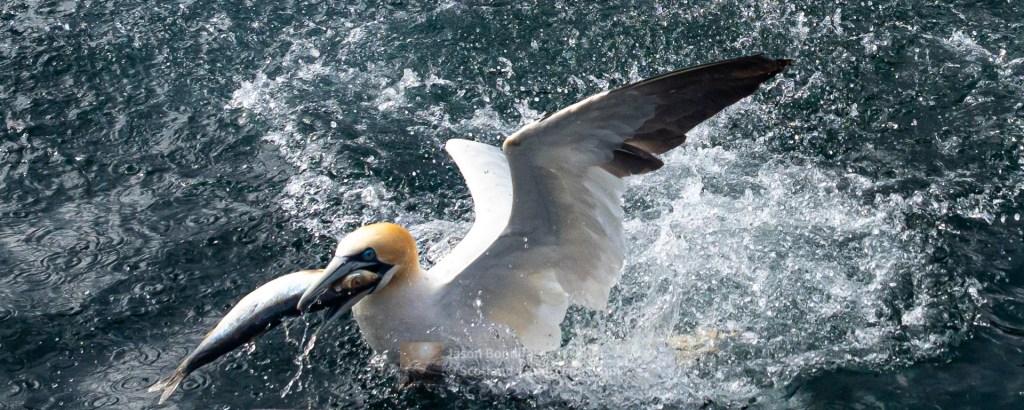 Successful Gannet, Shetland