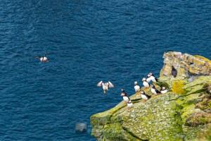 Puffins Incoming, Herma Ness, Shetland