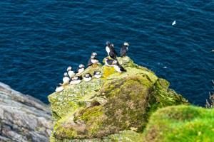 Puffins on a Rock, Herma Ness, Shetland
