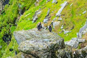 Puffins on Another Rock, Herma Ness, Shetland