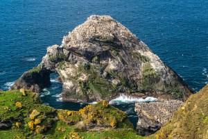 Gannet Covered Stack - Herma Ness, Shetland