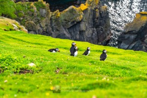 Puffins in the Grass - Herma Ness, Shetland