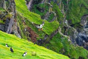 Puffin Incoming 1 - Herma Ness, Shetland