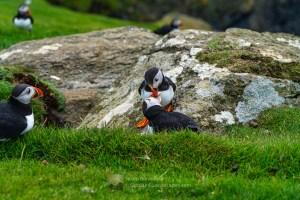 A Tender Puffin Billing Moment - 2 - Herma Ness, Shetland
