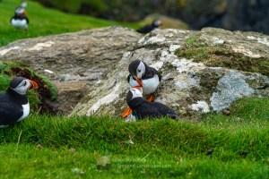 A Tender Puffin Billing Moment - 3 - Herma Ness, Shetland